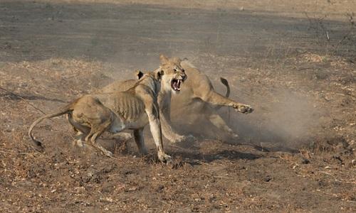 Bầy sư tử cái kịch chiến với sư tử đực xâm phạm lãnh thổ