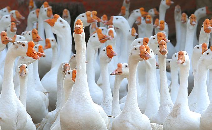 Trang trại 1.000 con ngỗng trắng ở Bắc Ninh