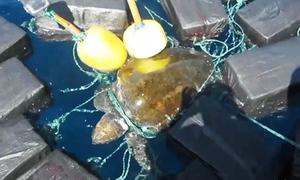 Rùa biển mắc kẹt giữa 800 kg cocaine trôi nổi trên biển
