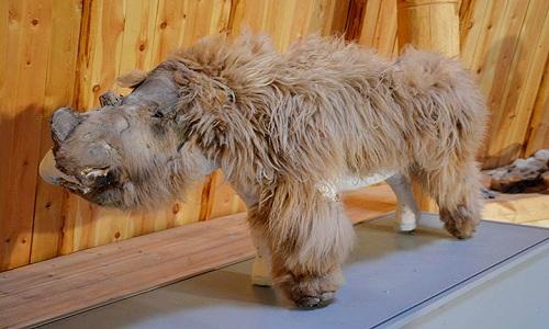 Xác ướp của tê giác lông mượt con Sasha được trưng bày ở Moscow. Ảnh: Anastasia Loginova.