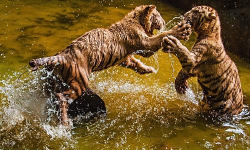 Hai chị em hổ Bengal nô đùa dưới hồ nước nông. Ảnh: Raymond Ching.