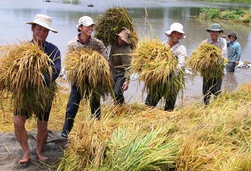 Nông dân Cà Mau thu hoạch lúa chạy bão. Ảnh:Phúc Hưng.
