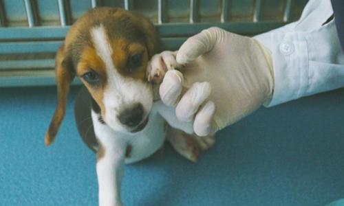 Chó Longlong chào đời nhờ công nghệ chỉnh sửa gene. Ảnh: CNN.