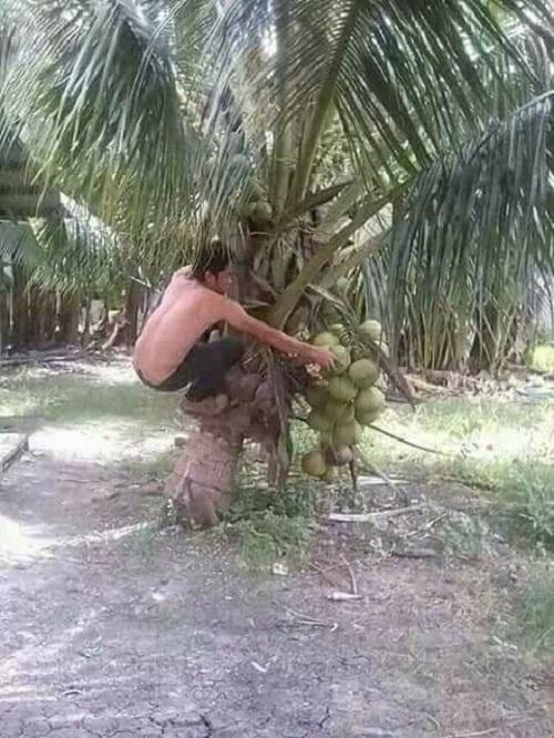 Anh ấy đã học leo dừa như thế nào.