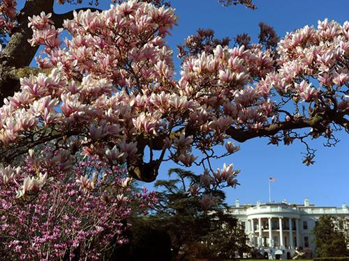 Hoa mộc lan nở rộ vào tháng 3/2010 trên sân Nhà Trắng. Ảnh: AFP