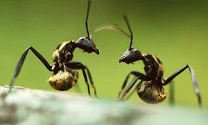 Cuộc chiến thảm khốc bằng 'vũ khí hóa học' của loài kiến