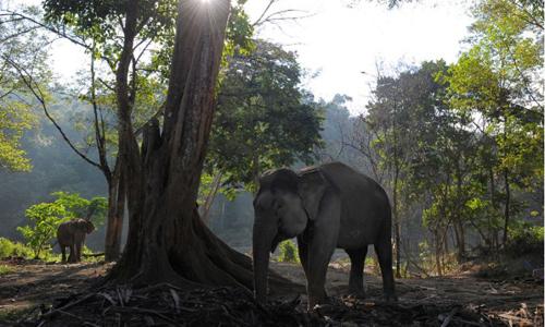Môi trường sống của voi Sumatra đang bị đe dọa nghiêm trọng.Ảnh: AFP/Chaideer Mahyuddin.