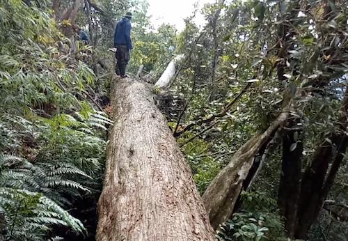 Hiện trường vụ chặt phá 189 cây pơ mu tại Tương Dương bị phát hiện hồi tháng 2.