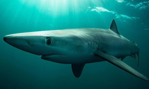 Cá mập lưỡng tính rất hiếm gặp. Ảnh minh họa: Cultura RM.