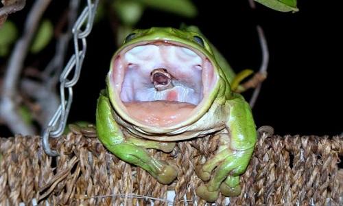 Ếch cây xanh không thể nuốt trôicon rắn nâu trong họng. Ảnh:Julie-Anne ONeill.