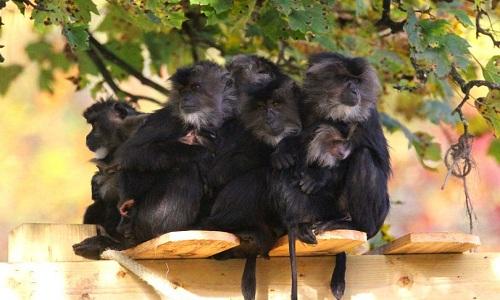 Vườn thú đóng cửa 4 ngày để đàn khỉ khóc thương đồng loại