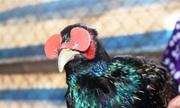 Nuôi chim trĩ 'đeo kính' thu lãi 300 triệu mỗi năm