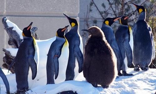 Đàn chim cánh cụt ở vườn thú Calgary. Ảnh: Calgary Zoo.