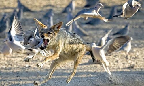 Chó rừng phi thân vồ chim bồ câu đang bay. Ảnh:Clint Ralph/Caters News.