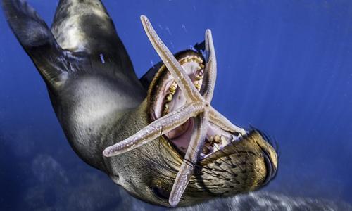 Sư tử biển há miệng cắn sao biển. Ảnh:Pedro Carrillo Montero/Caters News.