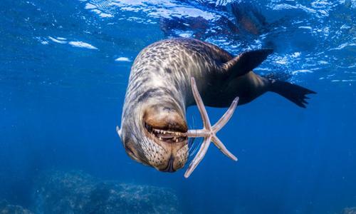 Sư tử biển thích thú với đồ chơi dưới nước. Ảnh:Pedro Carrillo Montero/Caters News.