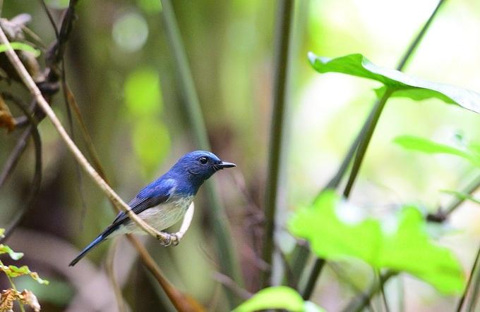 Loài chim đớp ruồi di cư về Hà Nội