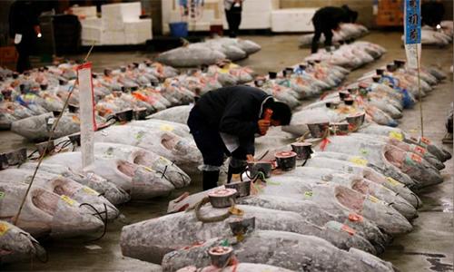 Một nhà buôn kiểm tra cá ngừ đông lạnh trướcphiên đấu giá ở chợ cáTsukiji,Tokyo, Nhật Bản, ngày 5/1. Ảnh:Reuters