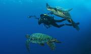 Con đực duy nhất trong đàn rùa biển 117 con