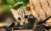 Mèo nhỏ nhất thế giới chỉ nặng một kilogram