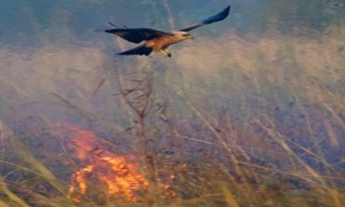 Chim diều hâu và chim cắt làm đám cháy lan rộng để dễ bề săn động vật nhỏ chạy ra. Ảnh: Bob Bosford.