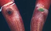 Loài mực mắt to mắt bé làm đau đầu giới khoa học suốt trăm năm