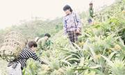Trồng dứa đồi nặng 2kg ở Lào Cai