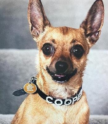 Chó chihuahua Cooper. Ảnh: News.com.au.