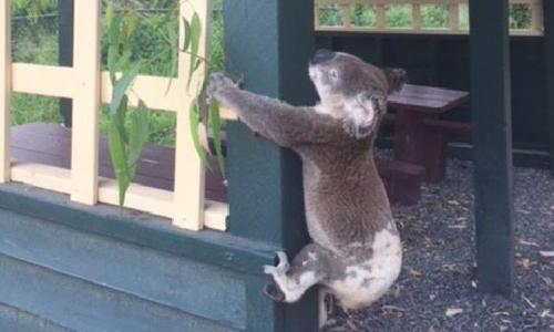 Hình ảnh gấu koala bị đóng đinh vào cột gỗ. Ảnh: News.com.au.
