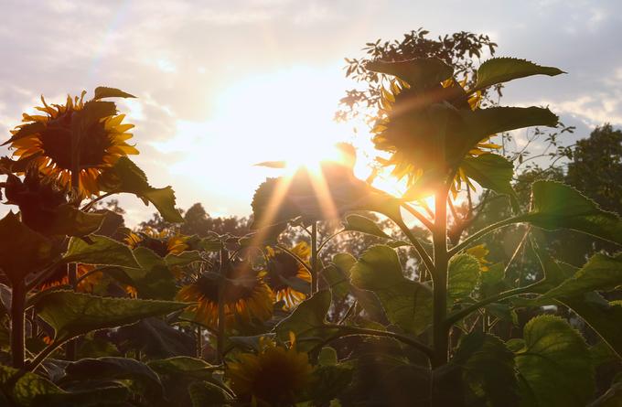 Hoàng Thành Thăng Long ngập sắc hoa mặt trời