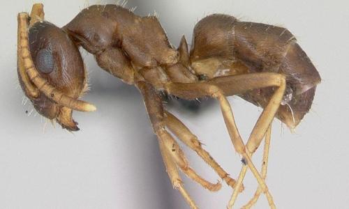 Loài kiến giết đồng loại để ngăn dịch bệnh lan rộng