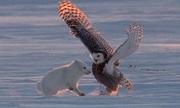 'Vũ điệu dằn mặt' kẻ thù giữa cú tuyết và cáo Bắc cực