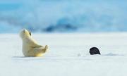 Mải nghịch tuyết, gấu Bắc cực con bị hải cẩu dọa ngã ngửa