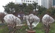 Thắp điện sưởi ấm cho đào Tết ở Hà Nội