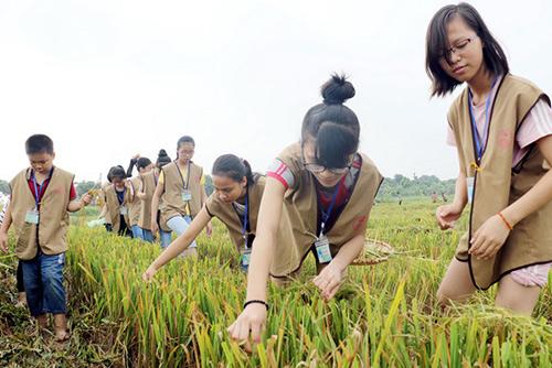 Học sinh mót lúa trong chương trình ngoại khóa. Ảnh: Đình Khoa.