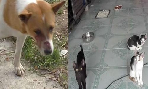 Tang bất chấp tính mạng để bảo vệnhững con mèo của cô chủ Panisara. Ảnh: Coconuts.