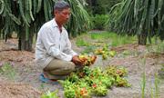 Một tấn trái thanh long trong khu vườn 8.000 m2 bị phá hoại