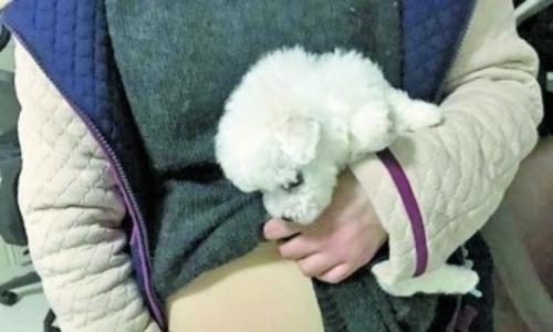Cô gái Trung Quốc giấu chó trong bụng, giả vờ mang thai khi lên máy bay