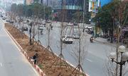 Hà Nội trồng hàng trăm cây phong lá đỏ trên phố