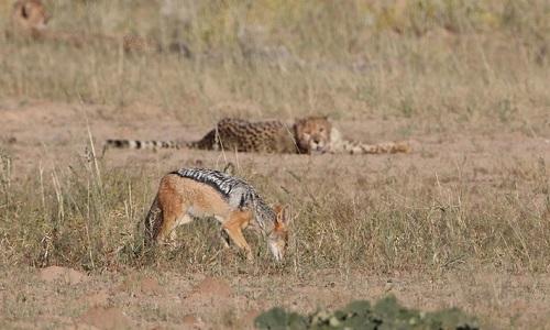 Đàn báo bất lực nhìn linh cẩu cướp mồi