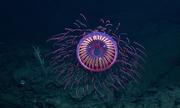 Loài sứa rực rỡ như pháo hoa ở độ sâu 1.200 m dưới biển