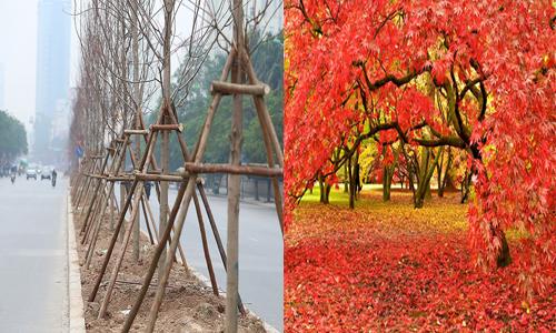 Cây phong lá đỏ đang được Hà Nội trồng sao chịu được cái nóng trên 40 độ ở miền Bắc.