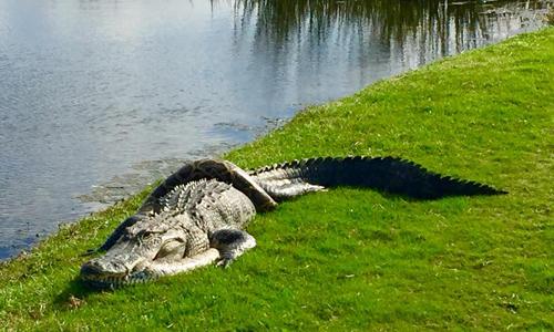 Cá sấu nằm bất động với trăn mốc quấn thân