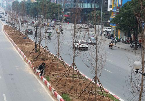 Cây phong được trồng ở dải phân cách giữa trên tuyến Nguyễn Chí Thanh, Trần Duy Hưng. Ảnh: Ngọc Thành.