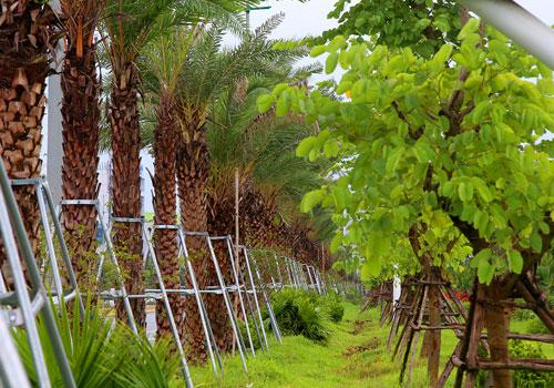 Tuyến đường Võ Nguyên Giáp được trồng năm loại cây trên dải phân cách giữa. Ảnh: Bá Đô.