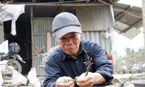 Lão nông thu lãi hàng trăm triệu đồng mỗi năm nhờ trồng Hoàng mai