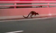 Cảnh sát Australia truy đuổi chuột túi giữa đường