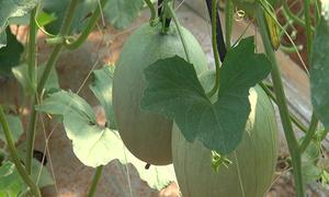 Thu trăm triệu nhờ trồng dưa lưới theo công nghệ Nhật