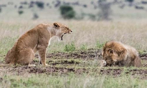 Dáng vẻ sợ hãi của sư tử đực khi nghe tiếng gầm của bạn tình. Ảnh: Caters.