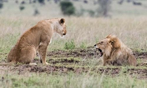 Sư tử đực là kẻ bắt đầu cuộc cãi cọ. Ảnh: Caters.